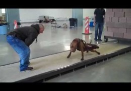 Pit Bulls and Weight Pulling