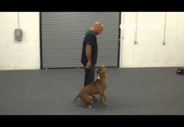 Got K9 Training A Pit Bull