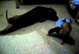 Pit Bull Teaches Baby To Crawl