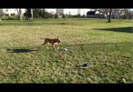 Blind Pit Bull Puppy Fetches Ball