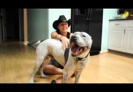 Happy Pit bull Loves Back Rubs