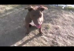 Rescued Pit Bull Gives Back