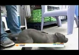 Paralyzed Pit Bull Puppy Thrown In A Trash Can Rescued