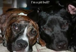 I Am A Pit Bull And I Will Not Hurt You