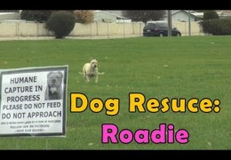 Roadie An Abandoned Pit Bull Rescued