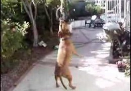 Pit Bull That Can Dance