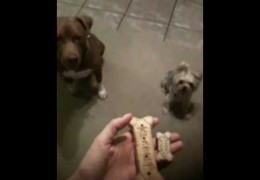 Yorkie Steals Treat From Pit Bull