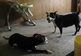 Pit Bulls Kung Fu Play Fighting