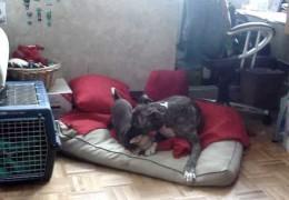 Chihuahua Dominates Pit Bull