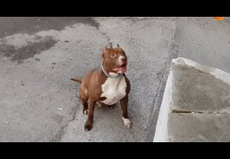 Pit Bull Diesel Plays With Bubbles For The First Time