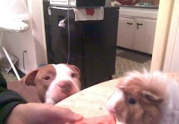 Watch A Pit Bull And Guinea Pig Share A Carrot