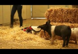 Two Rescued Piglets Take Three Legged Pit Bull On Walk