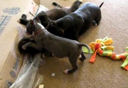 Watch Rescued Pit Bulls And Puppy Playing