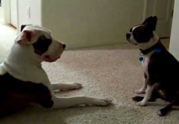 Pit Bull Wants To Play With Boston Terrier