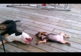 This Pit Bull Terrier Is Playing With A Pit Bull Puppy