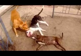 Pit Bulls Playing Gently