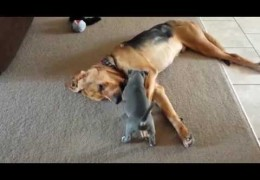 This Pit Bull Puppy Tries So Hard to Get 3 Legged Bloodhound To Play