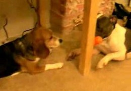 Pit Bull Gives Beagle Kisses To Get Dog Toy