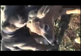 Pit Bull Lovingly Comforts Injured Deer While Waiting For Help