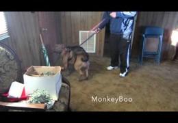 Monkey Rides A Pit Bull