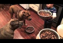 4 Year Old Boy Feeding 4 Giant Pit Bull Puppies Then Feeds Himself