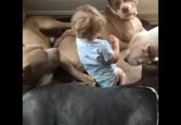 Baby Snuggles And Sleeps With Four Pit Bulls