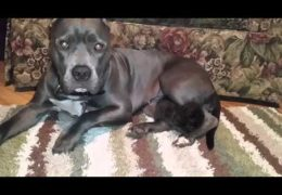 This Pit Bull Adopts Kitten As Her Own