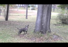 Pit Bull Jumps High To Go After Squirrel