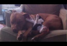 Extra Cute Pit Bull And Kitten Love