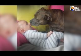 Affectionate Playful Pit Bulls Love Their Family