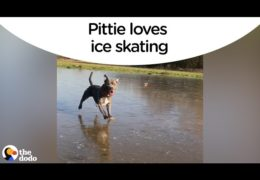 Pittie Loves Sliding Across Ice