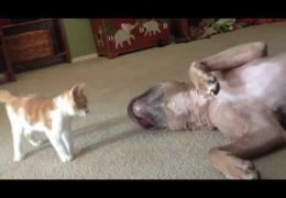 Pit Bull Lets Kitten Win Fight