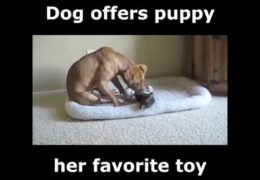 Dog Offers Puppy Her Favorite Toy