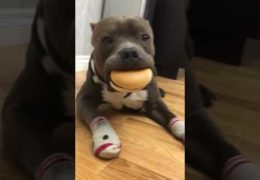 Pit Bull Loves Cheeseburgers