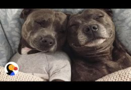 Most Pampered Staffordshire Bull Terriers In The World