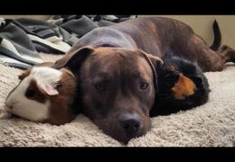Pit Bull And Guinea Pigs Are Best Friends