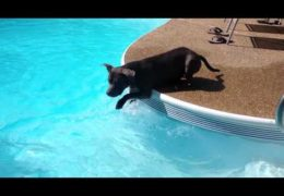 Pit Bull Overcomes His Fear And Swims In A Pool For The First Time