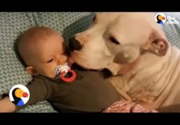 3 Legged Pit Bull With Cancer Loves His Human Siblings
