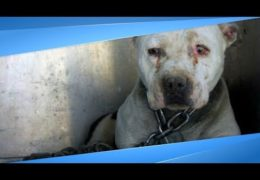 Pit Bull Who'd Been Chained Up For Years Finally Knows What It's Like To Be A Puppy