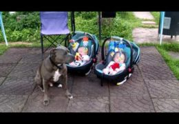 Pit Bull Protecting Twin Babies