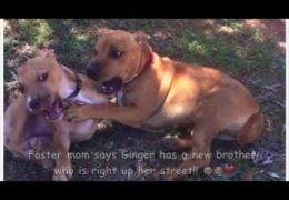 A Foster Pit Bull's Story About Her Friend Ginger
