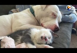 This Pit Bull Loves Cuddling Foster Kittens