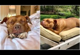 Pit Bull Got Adopted After Spending Uncomfortable Years