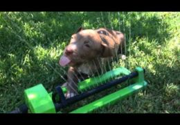 Pit Bull Puppy Comes In Contact With A Sprinkler For The First Time