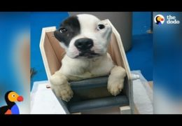 Pit Bull Needs High Chair To Eat Until He Surprises Everyone