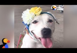 Rescued Pit Bull Gets Hats From Around The World To Cover Her Abuse Scars