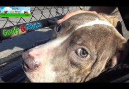 Homeless Pit Bull Brothers Almost Got Away From Rescuers