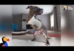 Pit Bull Born Without Front Legs Makes His New Parents So Happy