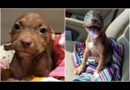 Joyful Pit Bull Puppy Can't Stop Wagging Her Tail As She Leaves The Shelter