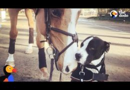 Pit Bull Thinks He's Actually A Horse